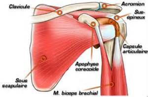 anatomie du muscle subscapulaire