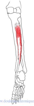 muscle tibial postérieur