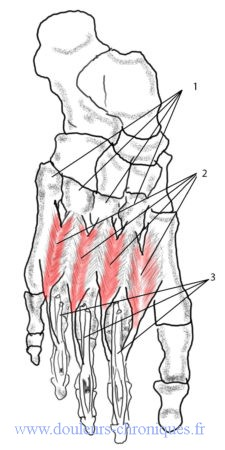 anatomie des msucles intrinséques profonds du pied