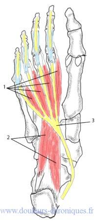 anatomie des muscles intrinsèques profonds du pied