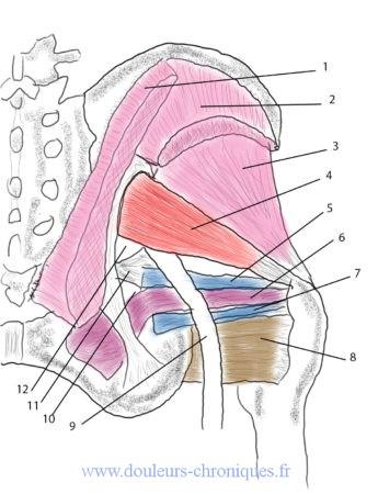 Anatomie du muscle piriforme et des muscles courts rotateurs latéraux
