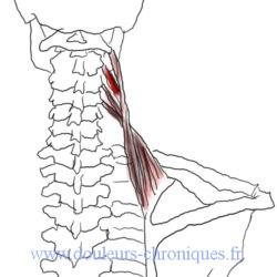 anatomie muscle élévateur de la scapula