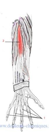 Anatomie du msucle extenseur des doigts de la main