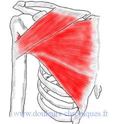 anatomie du muscle pectoral