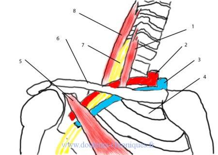 schéma anatomie défilé cervico-thoracique
